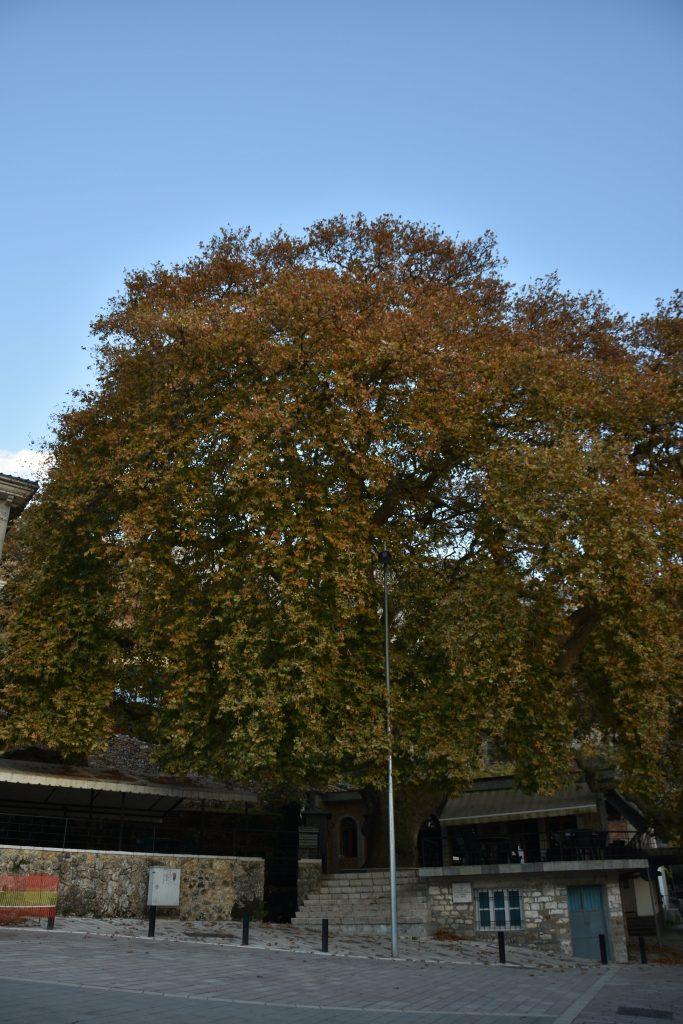 Libohova Sycamore Tree